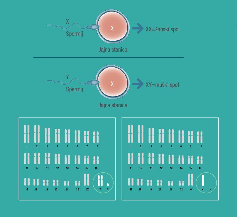 Kromosomi koji određuju jesmo li muškog ili ženskog spola označavaju se slovima 'X' i 'Y'